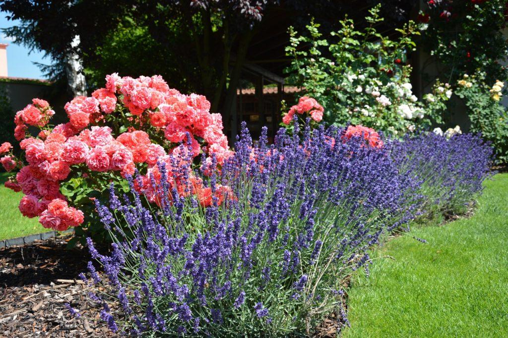 Les rosiers auront l'air bien dans leurs lits et pourront être mélangés avec des plantes vivaces