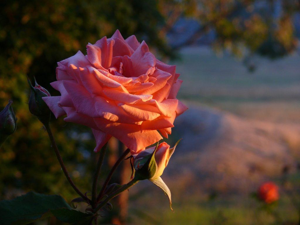 Les roses ont besoin d'environ 4 à 6 heures de soleil chaque jour