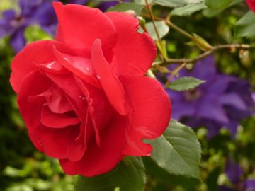 5 conseils pour cultiver ses Roses